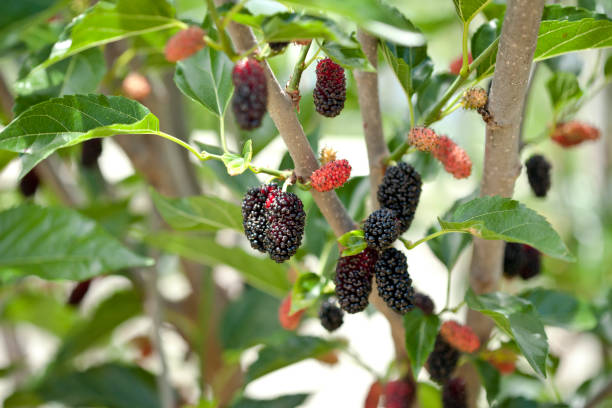 ripening fruit on a miniature mulberry tree