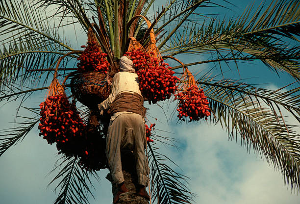 palm tree and dates fruit